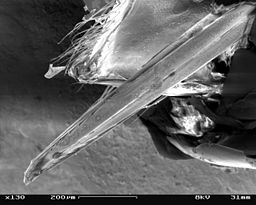 Vespula vulgaris SEM Sting 01
