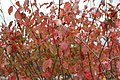 Viburnum prunifolium 4zz.jpg
