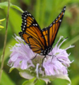 Viceroy Butterfly (9379266002).png
