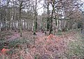 View into Broom Covert - geograph.org.uk - 1637461.jpg