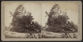 View of a large downed tree, by Camp, D. S. (Daniel S.) 2.png