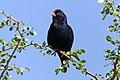 Village indigobird (Vidua chalybeata okavangoensis) male Zimbabwe.jpg
