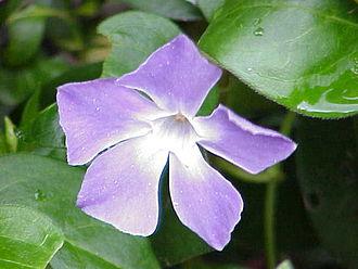 Apocynaceae - Vinca major, a popular garden plant