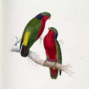 Rubinlori, Illustration von Edward Lear