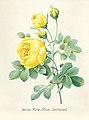 Vintage Flower illustration by Pierre-Joseph Redouté, digitally enhanced by rawpixel 35.jpg