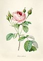 Vintage Flower illustration by Pierre-Joseph Redouté, digitally enhanced by rawpixel 57.jpg