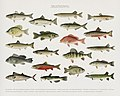 Vintage illustrations by Denton from Game Birds and Fishes of North America digitally enhanced by rawpixel 03.jpg