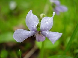 Viola palustris.jpg