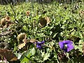 Violets in bloom (32500140094).jpg