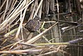 Virginia Rail at Cokeville Meadows NWR (21443153495).jpg