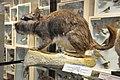 Viscacha - Lagostomus maximus - NHMI.jpg