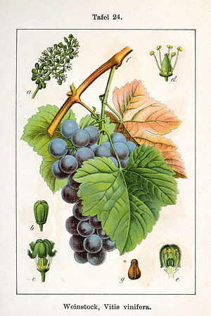 Vitis vinifera L. ;Original Description: Weins...