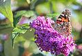 Vlinder op een bloem Holland.jpg