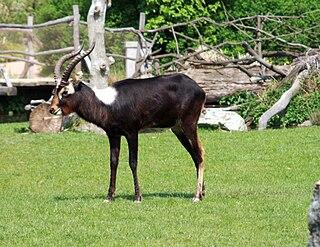 species of antelope
