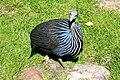 Vogelpark Walsrode - Freiflughalle - Acryllium vulturinum 03 ies.jpg