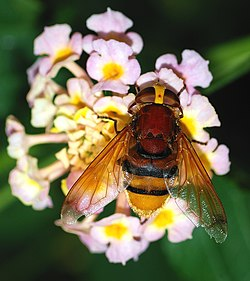 Volucella September 2007-2.jpg