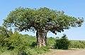 Von Wielligh's Baobab (Adansonia digitata) (17104905557).jpg