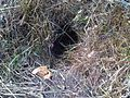 Vulpes vulpes burrow entrance L107.jpg