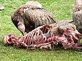Vulturesfeasting.jpg