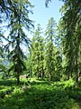 Waldreservat Plontabuora5.jpg