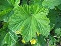 Waldsteinia geoides 03.jpg