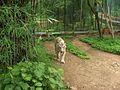 Walking Tiger.jpg