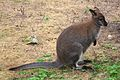Wallaby at Marwell Wildlife 2.jpg
