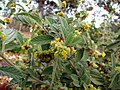 Waltheria indica var. americana (5001605883).jpg