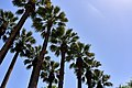 Washingtonia Flifera palm trees at the National Garden of Athens.jpg