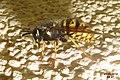 Wasp (NH266) (14340891427).jpg