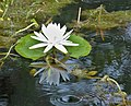 Water Lily reflections (38381123694).jpg