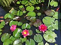 Water lilies with red and pink flowers.jpg