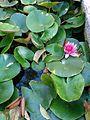 Water lily in man-made pond, Daylight, Haifa, Israel.jpg