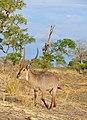 Waterbuck (Kobus ellipsiprymnus) (32416931954).jpg