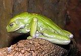 Waxy.tree.frog.arp.jpg