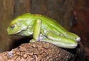 Waxy Tree Frog Phyllomedusa sauvagii