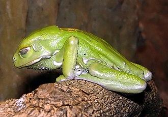 Hylidae - Image: Waxy.tree.frog.arp