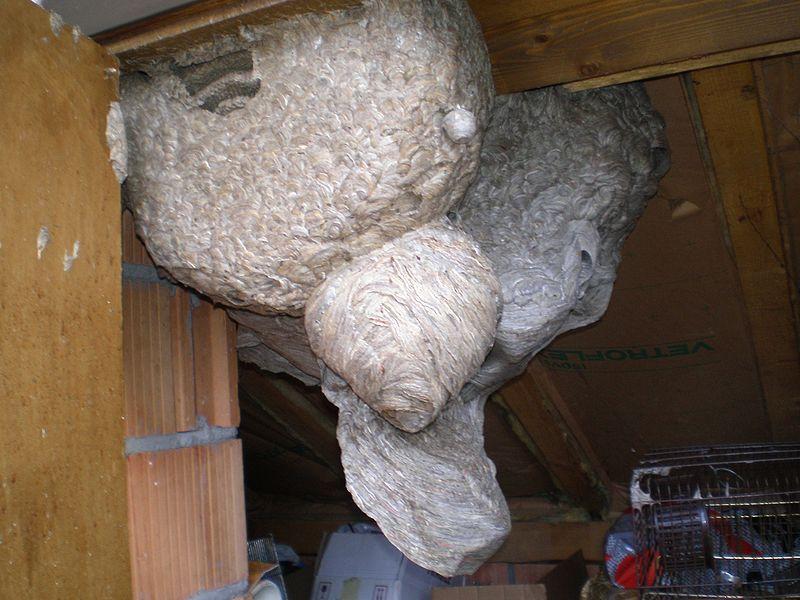Datei:Wespennest Dachboden Gigantisch.JPG