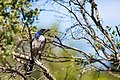 Western Scrub-Jay - 4-11-15 - Five Brooks Trail, Olema, CA (17547974758).jpg