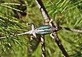 Western fence lizard - underside.jpg