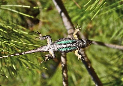 Western fence lizard - underside