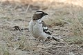White-browed sparrow-weaver (27681389973).jpg