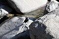 White-capped Dipper (Cinclus leucocephalus).jpg