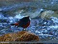 White-capped Redstart (Chaimarrornis leucocephalus) (16386823368).jpg