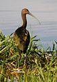 White-faced ibis (Syracuse, NY).jpg