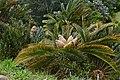White-haired Cycad (Encephalartos friderici-guilielmi) bearing cones ... (32984154395).jpg
