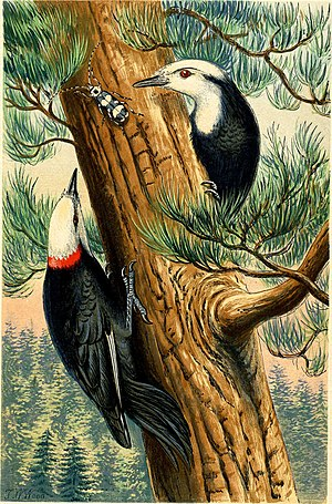 "T. W. Wood - ""White-headed Woodpecker"", coloured wood-engraving by Benjamin Fawcett, drawing by T.W. Wood"