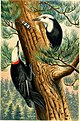 White-headed Woodpecker by Benjamin Fawcett after T.W. Wood.jpg