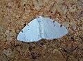 White-pinion Spotted. Lomographa bimaculata (47971143742).jpg