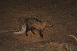 White-tailed mongoose - Image: White tailed mongoose (Ichneumia albicauda)